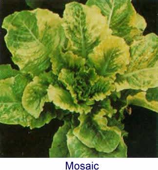 http://people.umass.edu/jmeagy/Lettuce-lettuceMV.jpg
