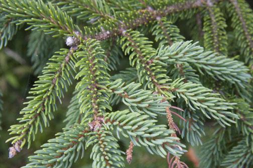 Balsam Hill Christmas Trees